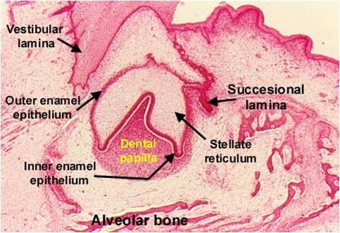 Embriología dental