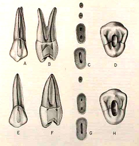 Morfología 1er premolar superior
